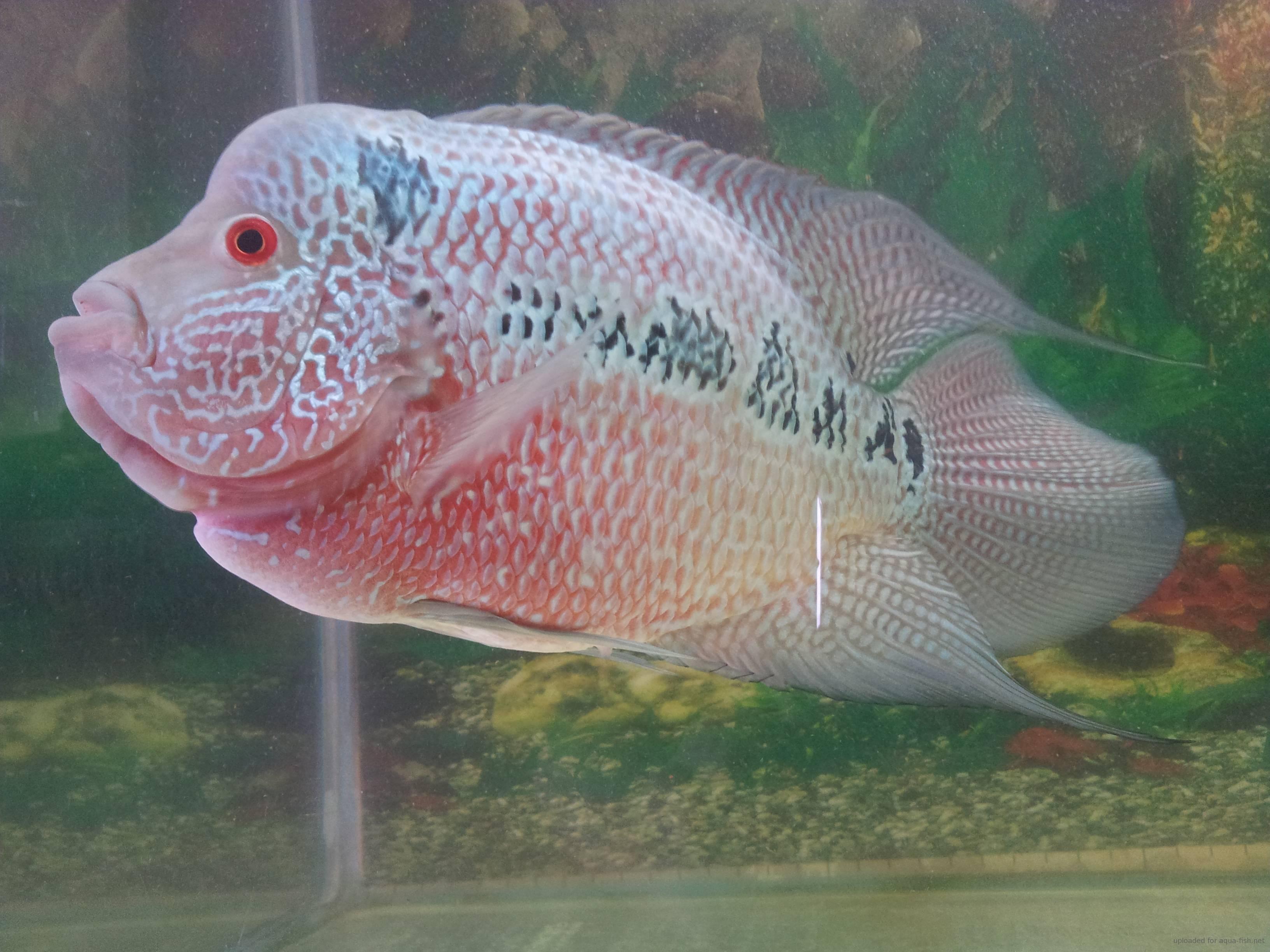 Freshwater Dragon Fish | Dragon Fish Full Size