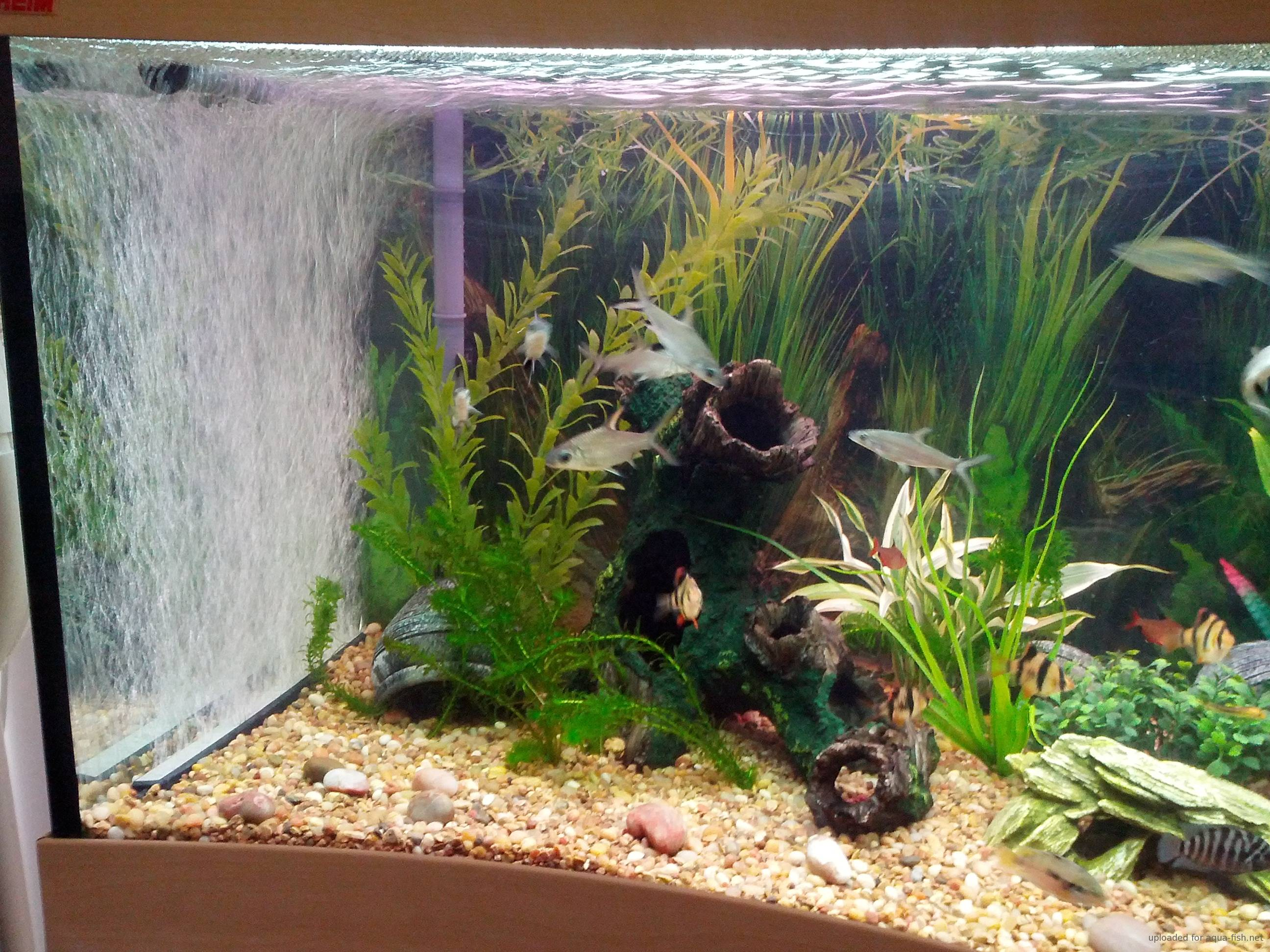 Viewtopic additionally 14241 Oscar Fish Cichlid Woes together with Tiger oscar 28 additionally Tiger Oscar Tank as well Viewtopic. on oscar cichlid forum