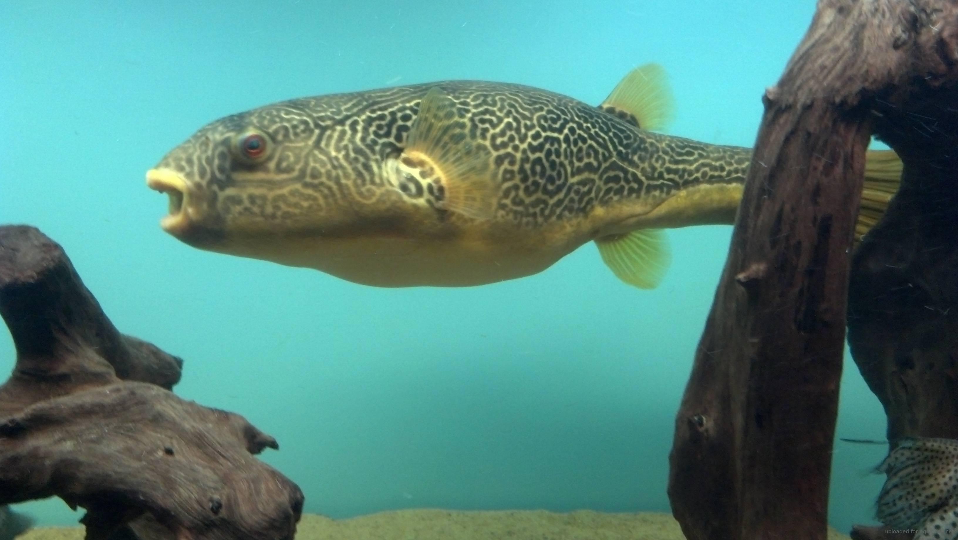 Tips On Raising Giant Puffer Fish Tetraodon Mbu