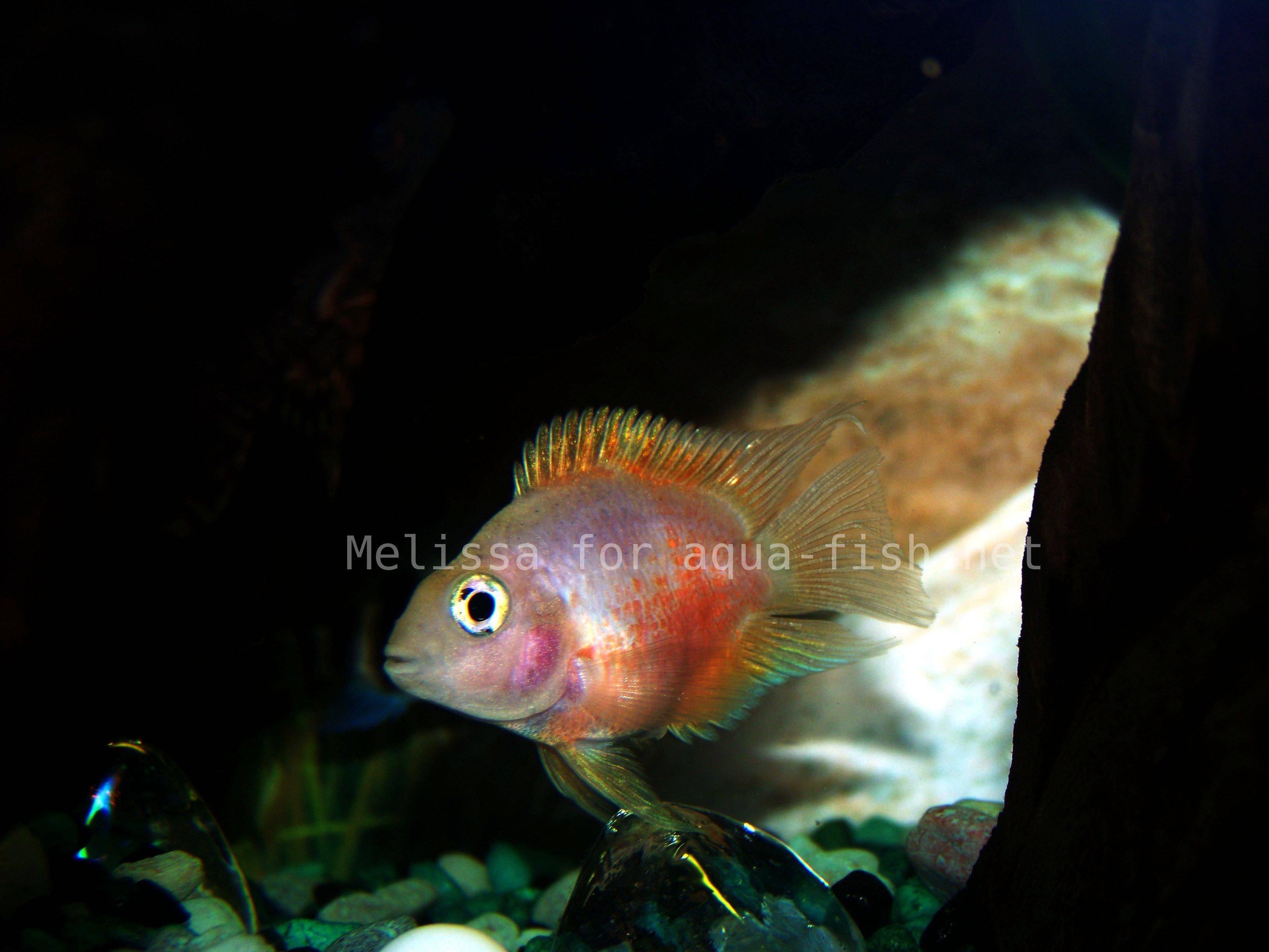 Bubblegum Parrot Fish Images & Pictures - Becuo