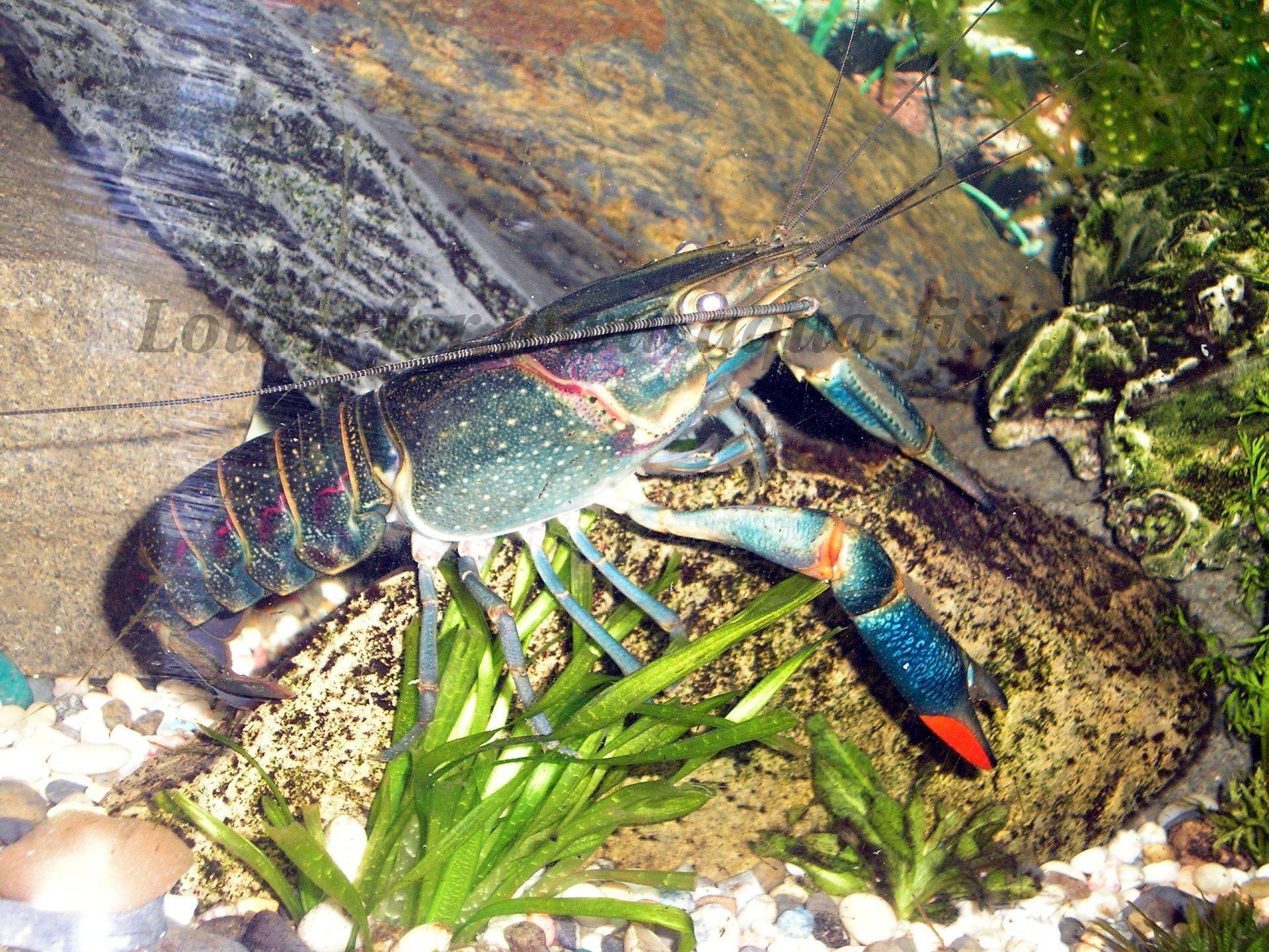 external image blue-crayfish.jpg