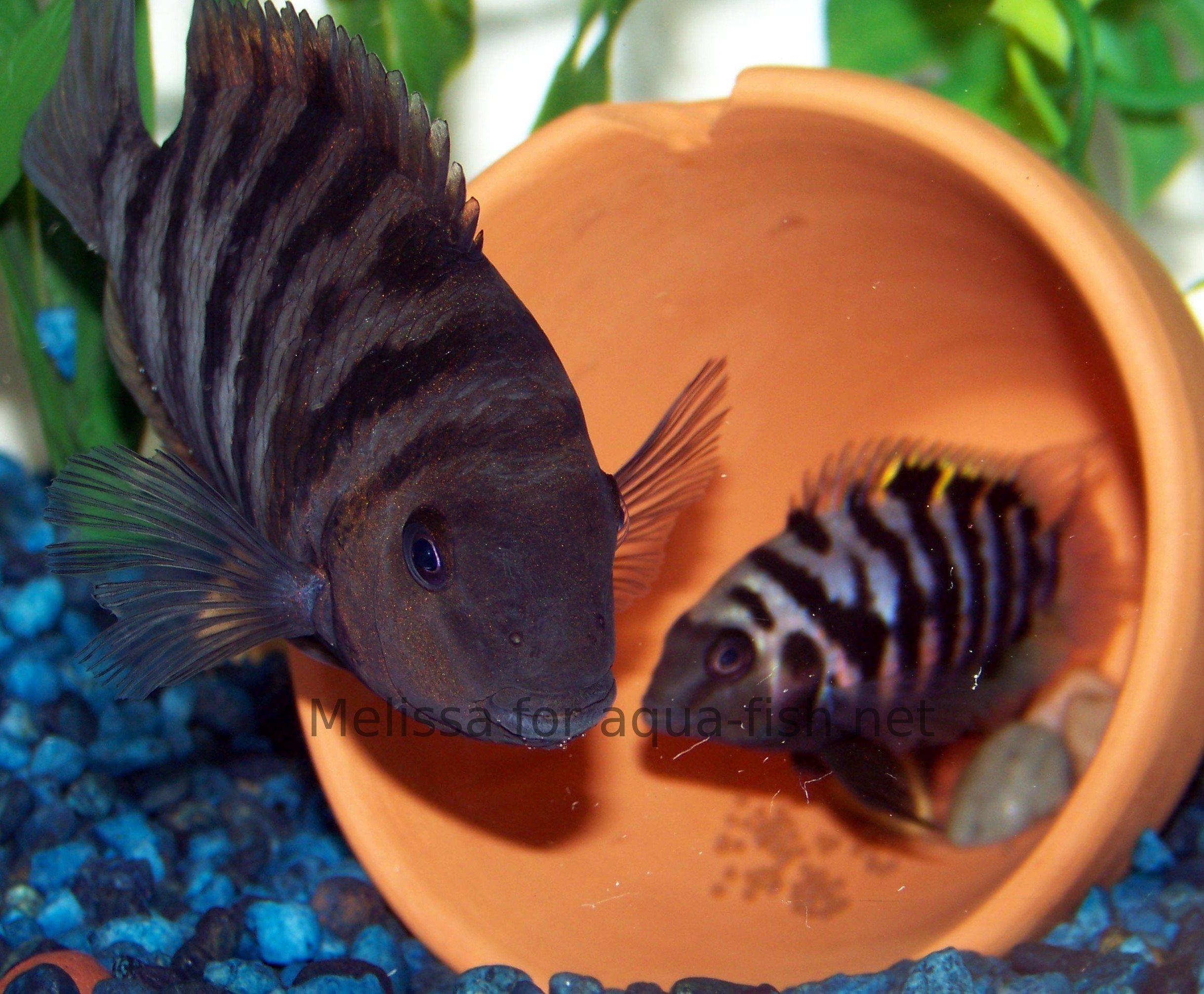 Baby Convict Fish Convict Cichlids