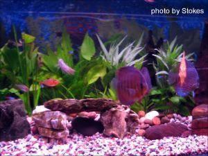 Discus Fish, img 2