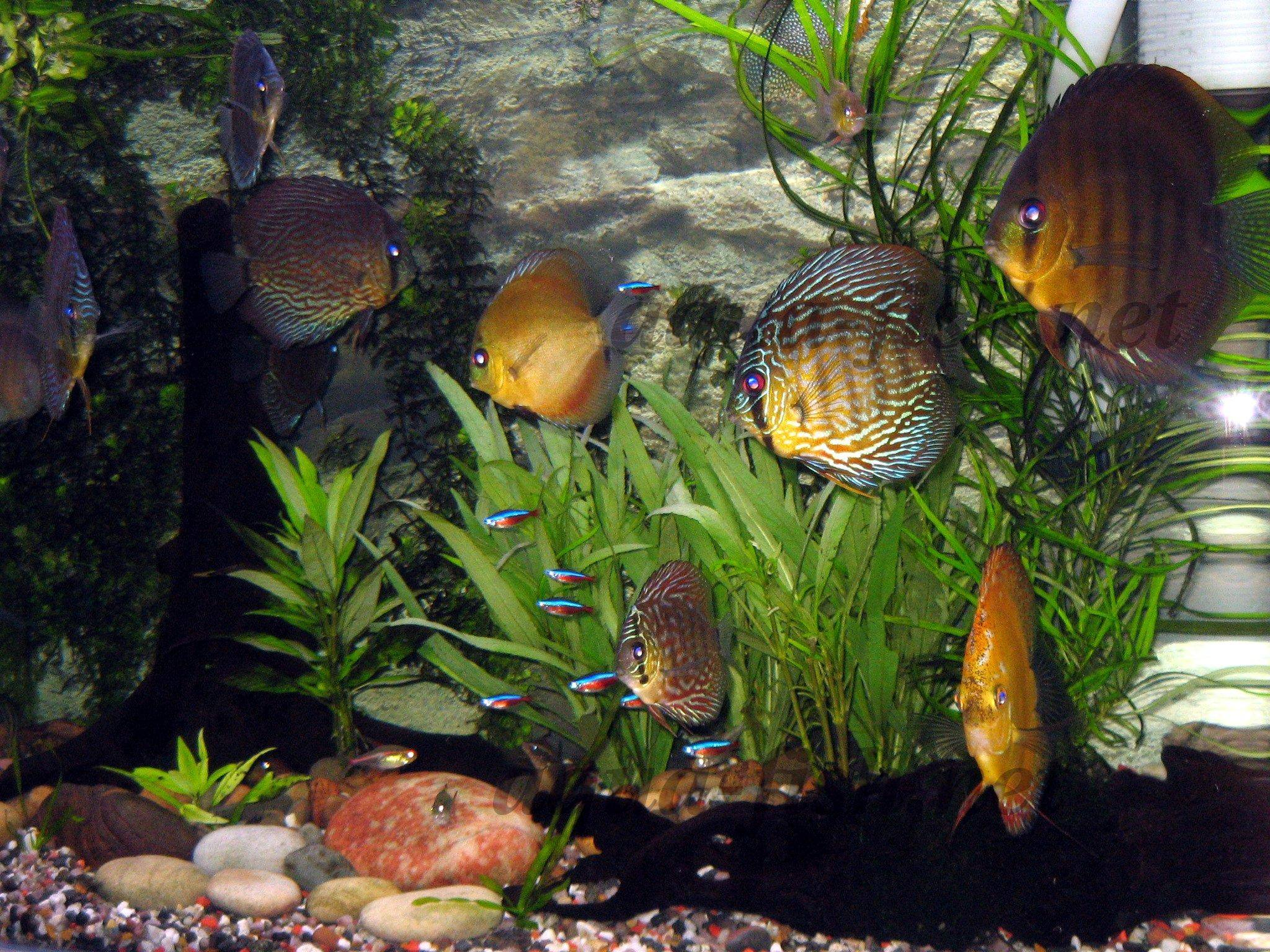 Discus Aquarium Fish - Care, Breeding, Forum & Everything for happy