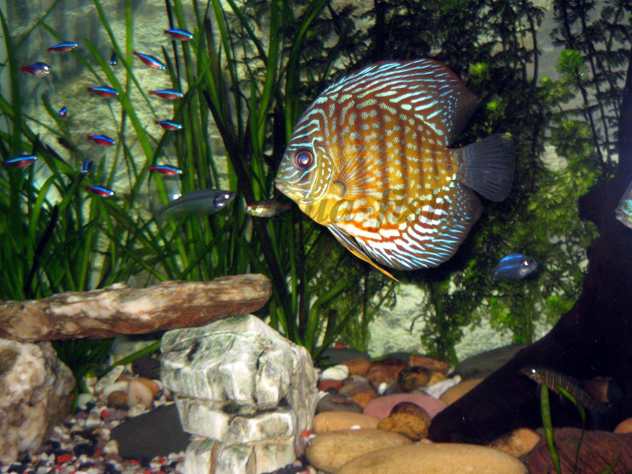 Download live discus aquarium free software natbackuper for Live discus fish for sale