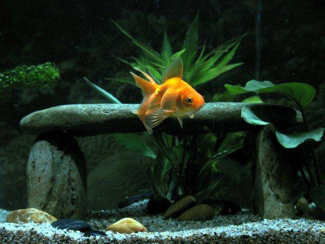 a page and forum about caring for goldfish in aquariums