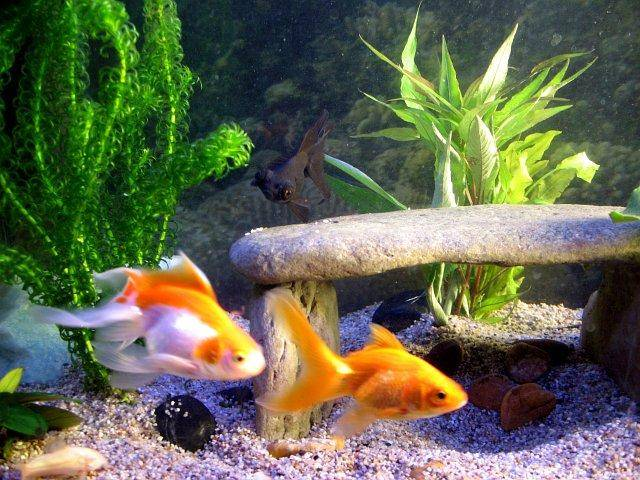 A page and forum about caring for goldfish in aquariums for Types of fish pond