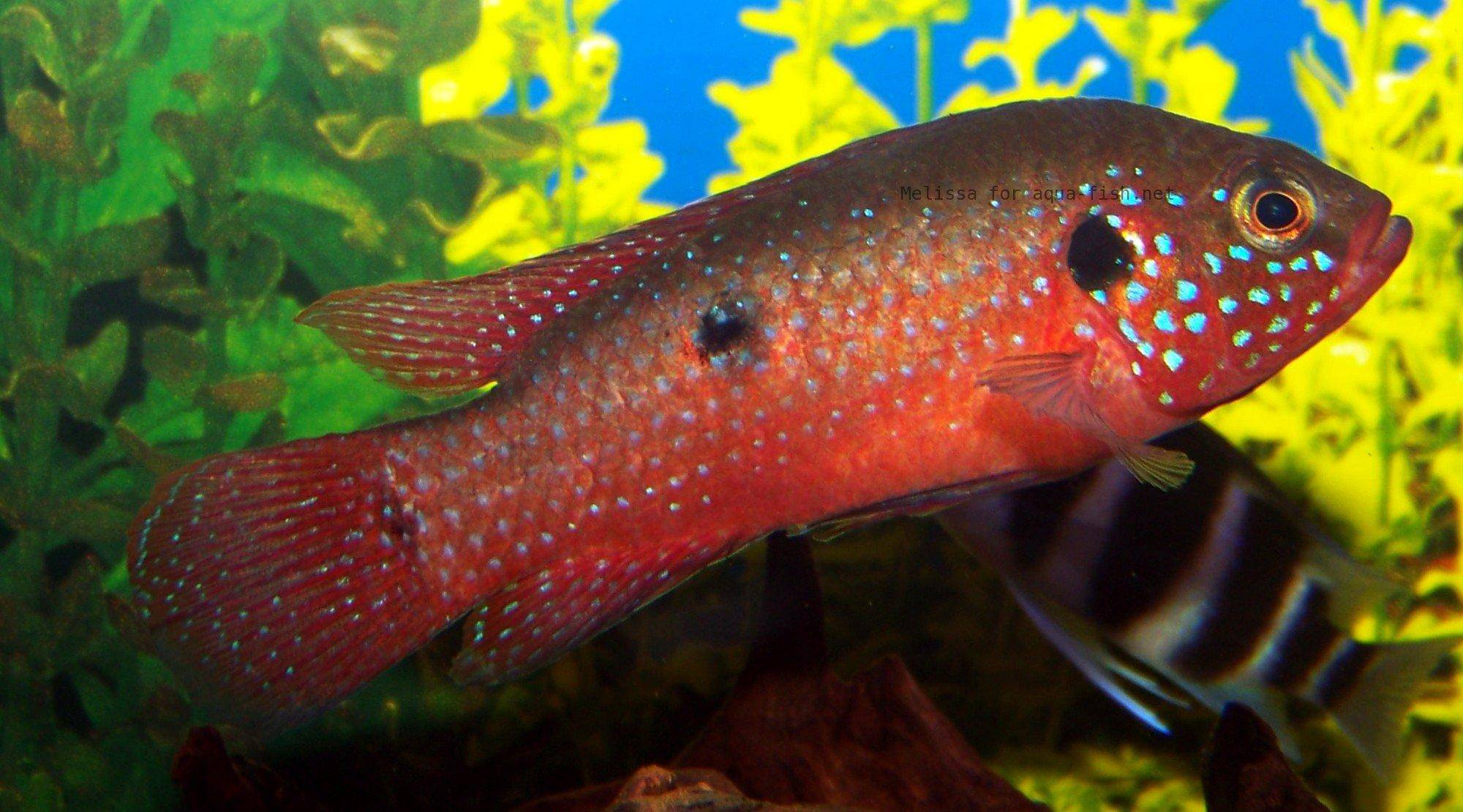 jewel cichlid jewel my personal experience if there colorful and