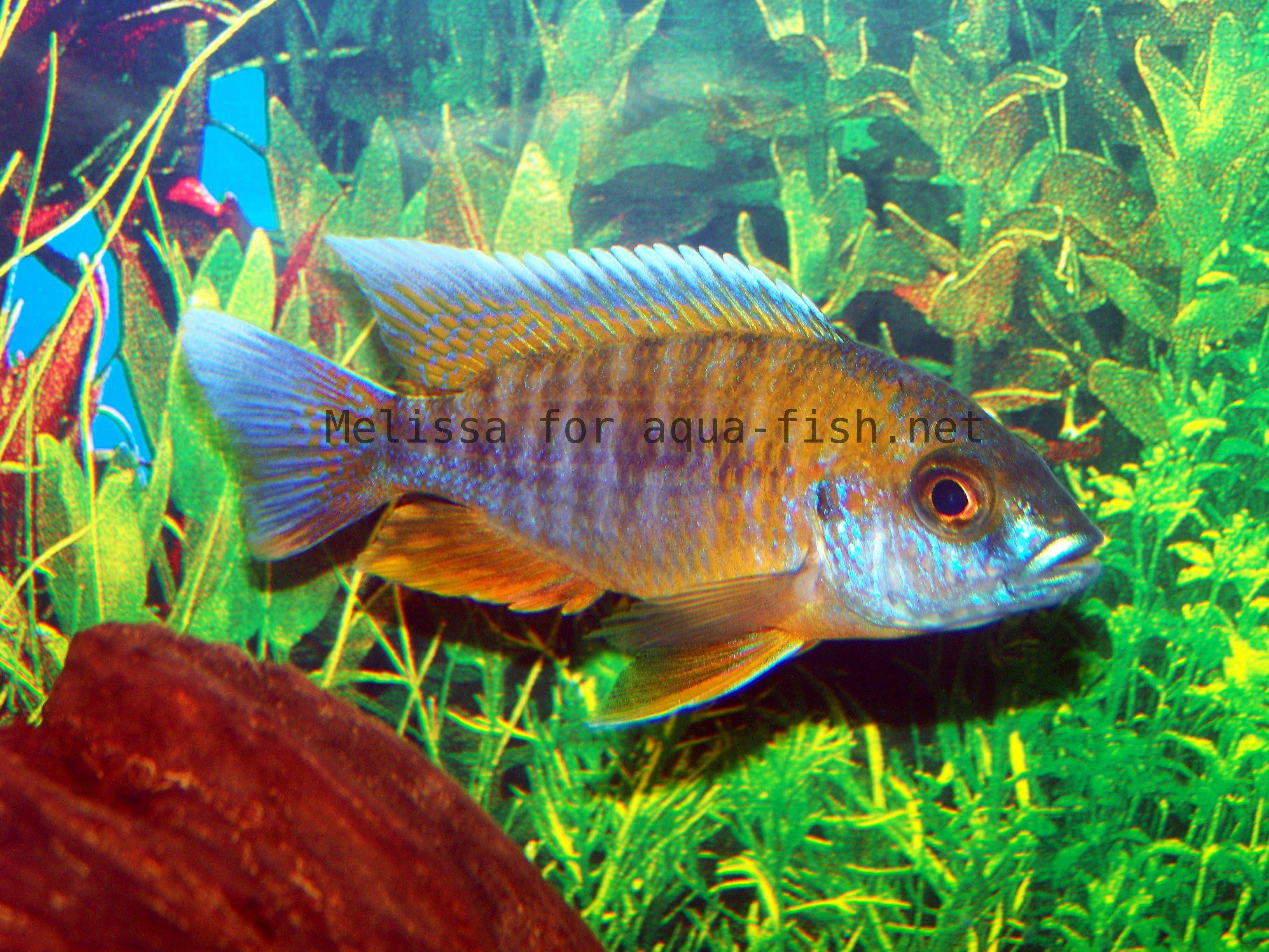 A page and forum dedicated to care of peacock cichlids for Fish breeding net