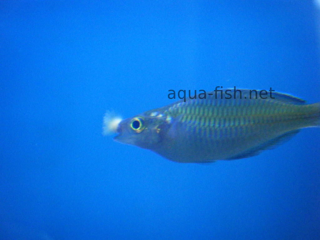 fungal infection on lips Treatment of ill fish and the most common diseases of aquarium fish
