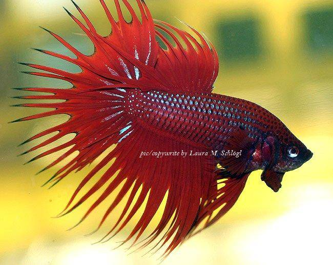 Siamese Fighting Fish care and forum