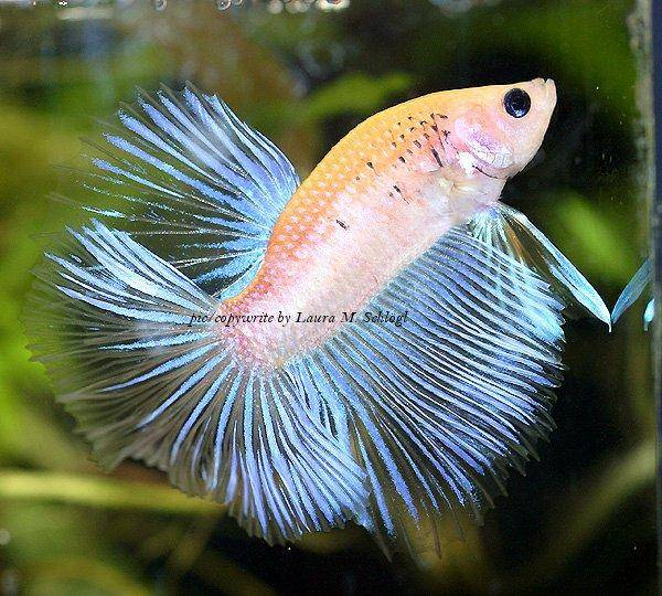 Keeping and breeding the bettas fish in aquariums for How much are betta fish