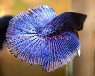 Betta splendens - Bojovnica pestrá