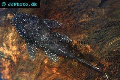 Ancistrus dolichopterus - Prísavník modrastý