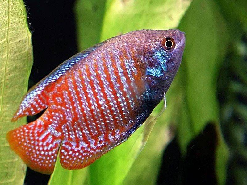 Which Type Of Gourami You Like The Best Yahoo Answers