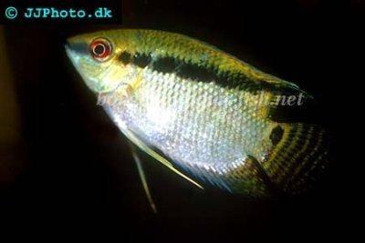 Flag cichlid - Mesonauta festivus