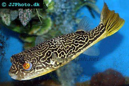 freshwater puffer fish. Diet: Giant puffer is a