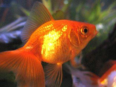 Gold Fish Care on Goldfish Carassius Auratus Auratus