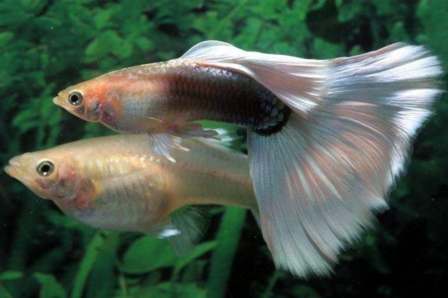 Гуппи - одна из наиболее неприхотливых в содержании и размножении рыбок.  Для начинающего аквариумитста- это лучший...