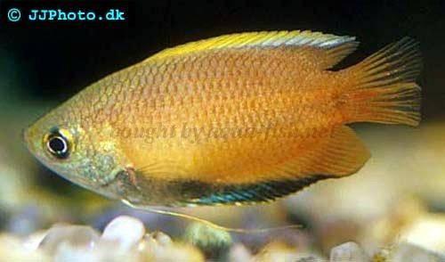 ... gourami, image 2. Advertisement. Similar fish profiles in our database: