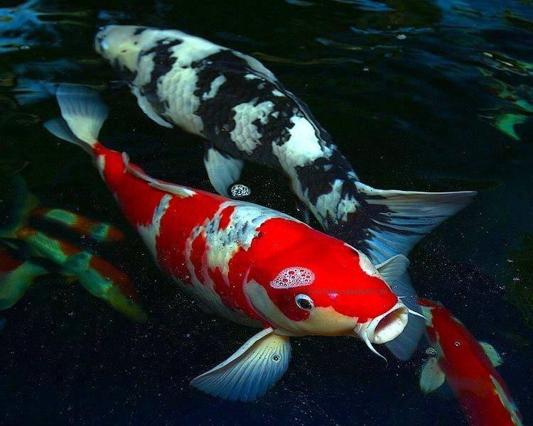 Forum and caring tips on koi carps cyprinus carpio carpio for Where can i buy koi fish
