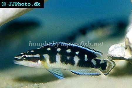 Masked julie - Julidochromis transcriptus