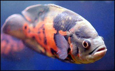 Sometimes i dont like my oscar further 261715 My Cichlid Pond as well Astronotus Ocellatus Oscar Fish Types as well Brand New Tank With Oscar Need Help On Tankmates T22696 also 299825 Holy Overstocked Tank Batman. on oscar fish tankmates