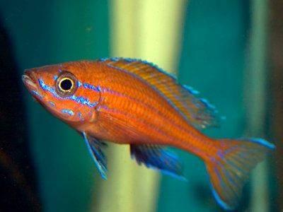 Sélection de aqualifestyle-france - les poissons du Tanganyika - Afrique Paracyprichromis-nigripinnis
