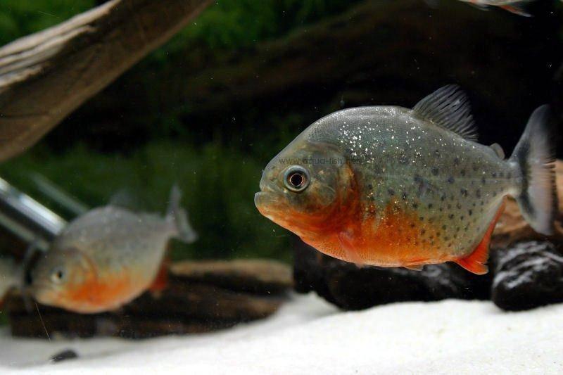 piranha dan ikan hias