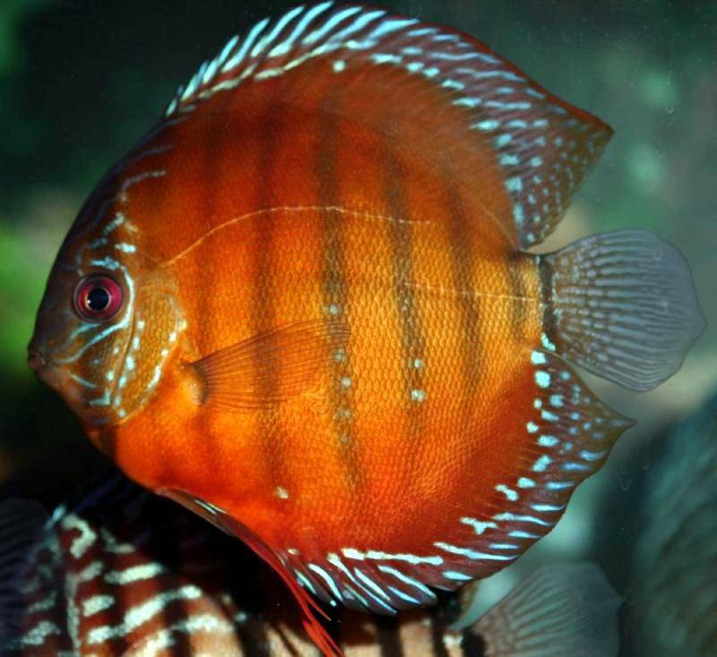 free downloading videos of red discus wiki