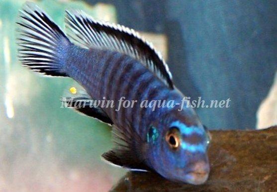 http://www.aqua-fish.net/imgs/fish/slender-mbuna.jpg