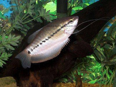 """The%20image%20""""http://www.aqua-fish.net/imgs/fish/snakeskin-gourami-profile.jpg""""%20cannot%20be%20displayed,%20because%20it%20contains%20errors."""