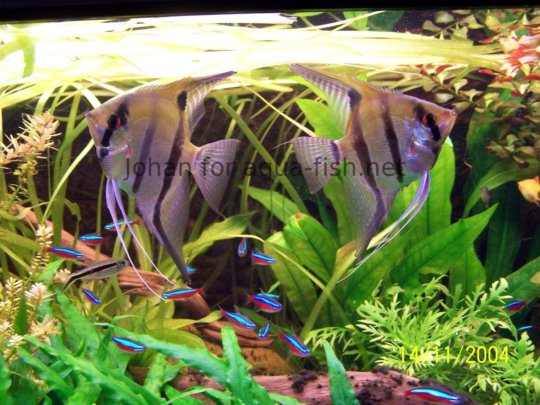 Neon tetra for sale aquariumfish net - Posted