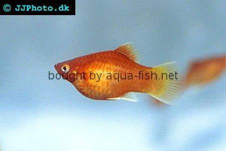 Platy fish - Xiphophorus maculatus