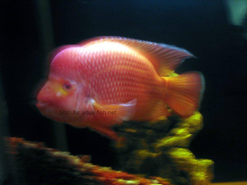 500 internal server error for Red devil fish for sale