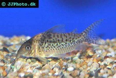 False blochi catfish - Corydoras delphax