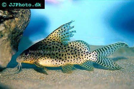 Featherfin catfish - Synodontis eupterus