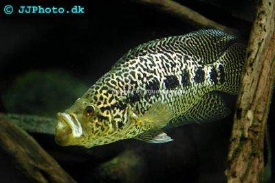Jaguar on Jaguar Cichlid Care And Profile   Parachromis Managuensis
