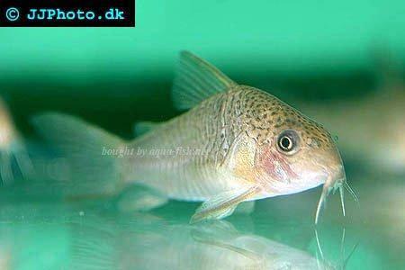 goldfish tank mates. boisterous tank mates,