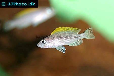 neolamprologus-caudopunctatus.jpg