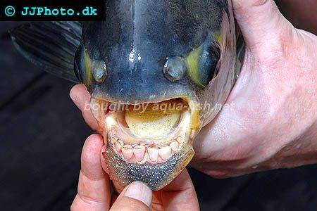 A guide on caring for the pacu fish including discussion for Pacu fish for sale