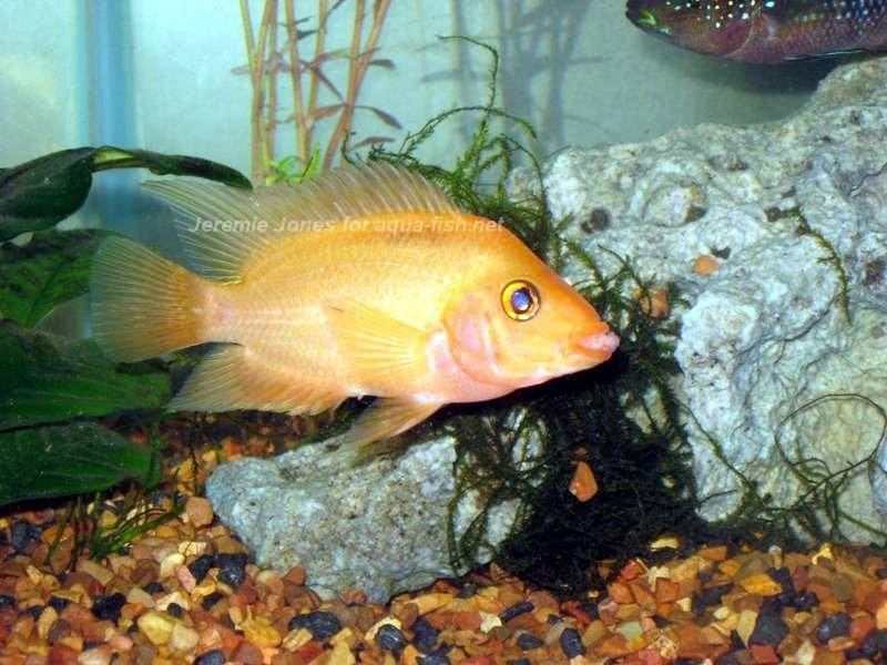 How to care for the red devil cichlid for Red devil fish for sale