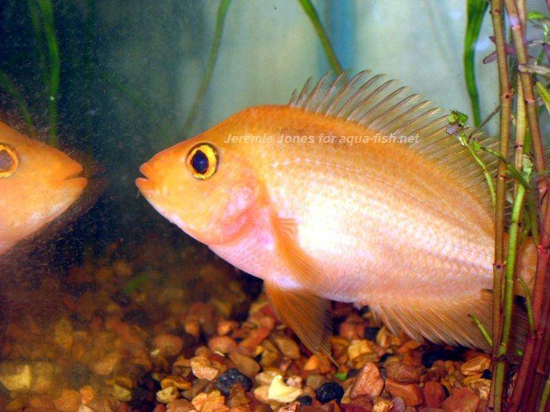 How To Care For The Red Devil Cichlid