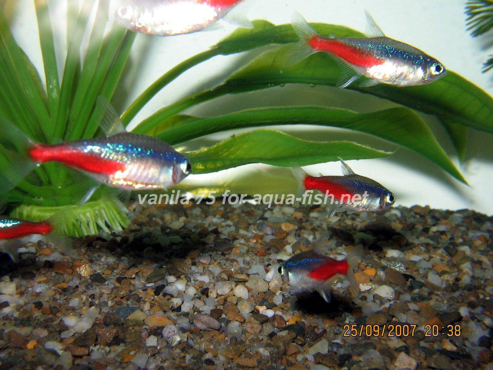 Article and forum on caring for neon tetras including diet for Neon tetra fish