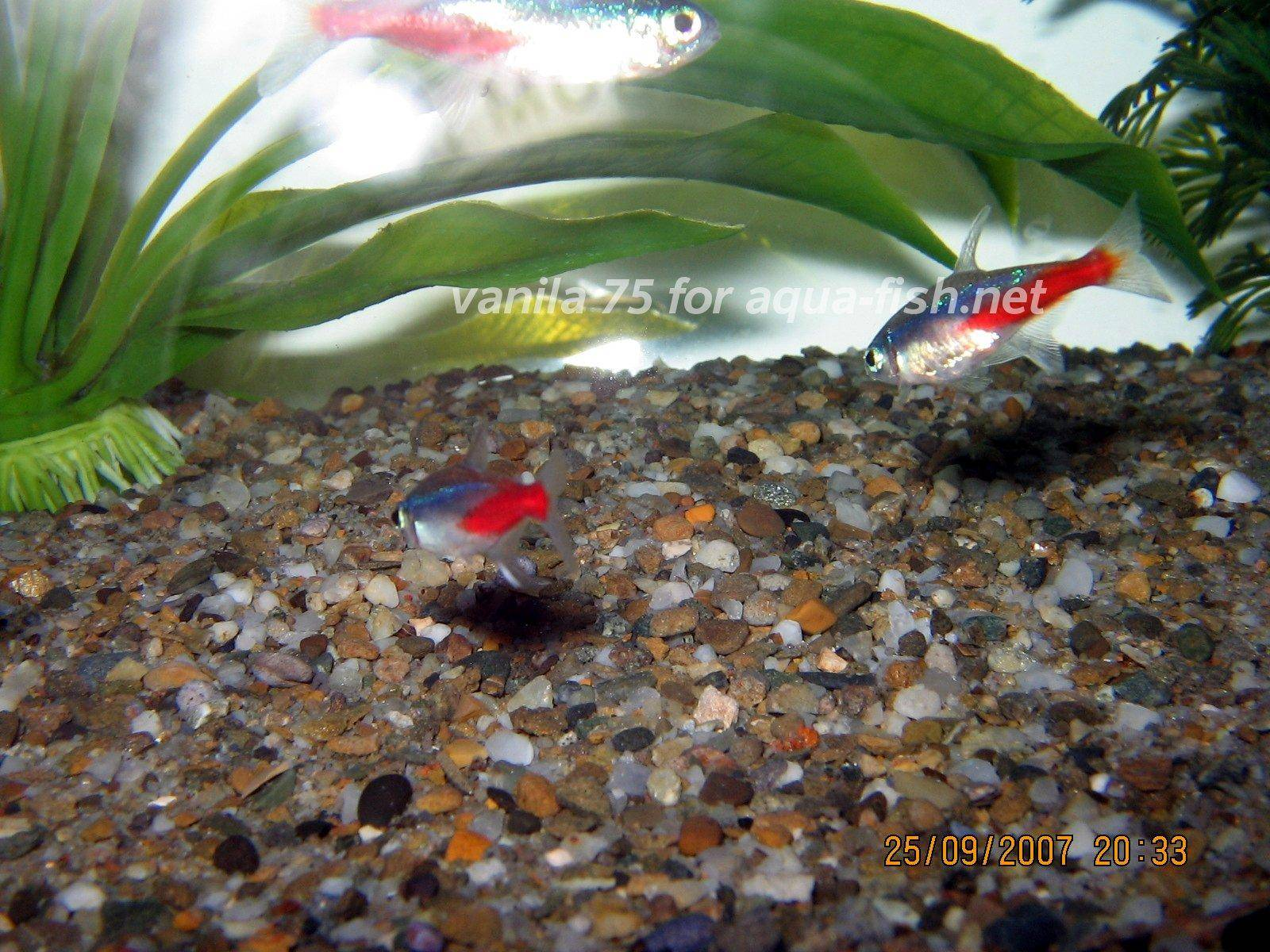 Neon Tetras And Guppies Neon Tetra Picture 3