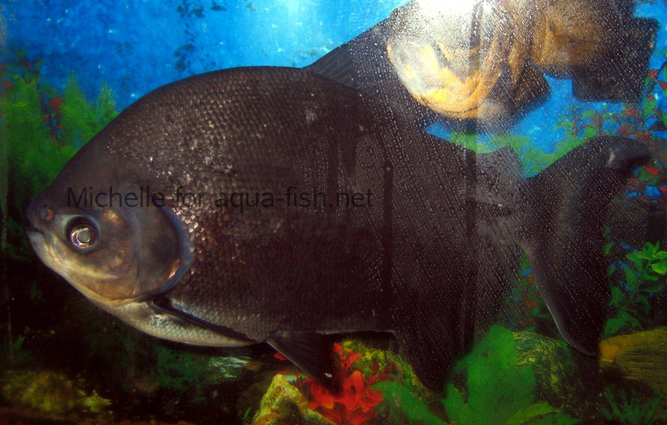 Essay about piranha fish