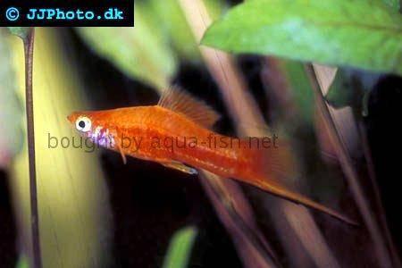 Marigold Swordtail Fish