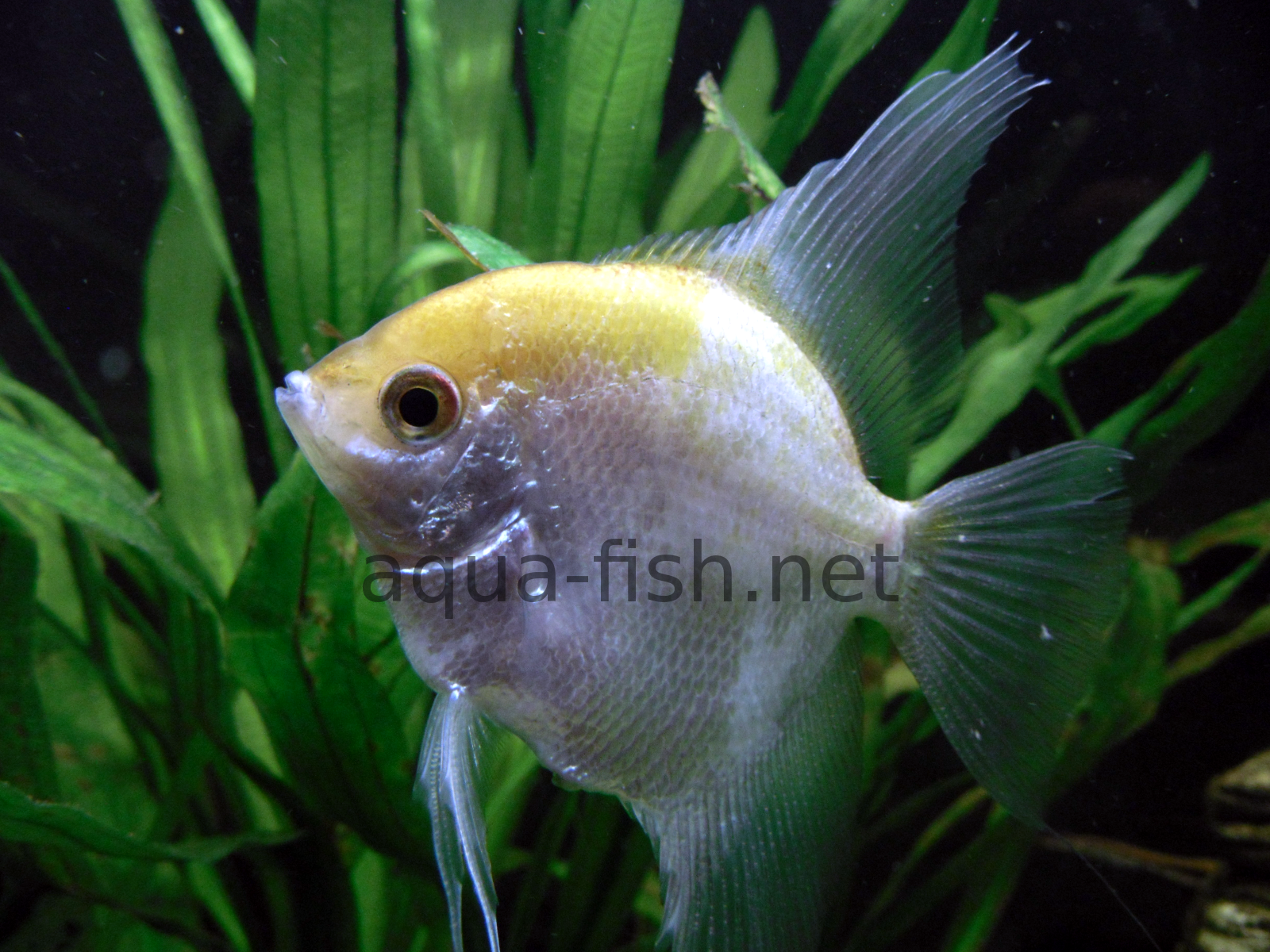 how to take care of a pregnant angelfish