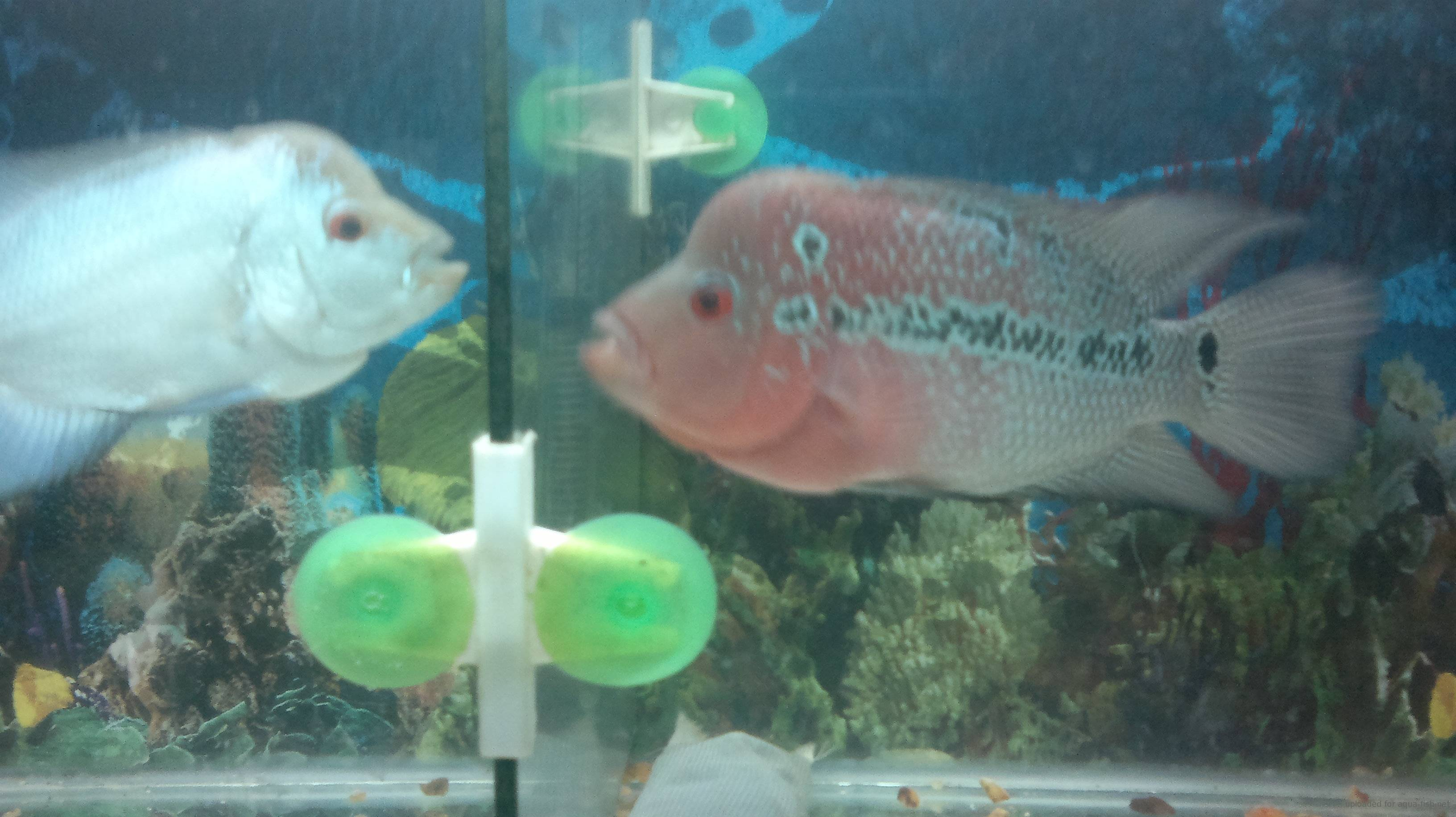 Care Of Oscar Fish, Diseases And Breeding With Forum